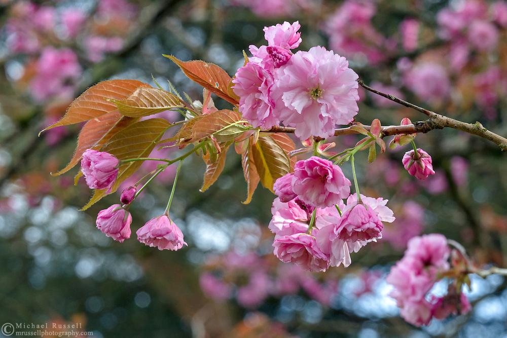 Kanzan (or Kwanzan) cherry blossoms in Langley, British Columbia, Canada