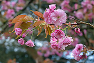 Kanzan (or Kwanzan) cherry blossoms in Langley, British Columbia, Canada