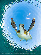 Green sea turtle Chelonia mydas swims offshore Palm Beach County, Florida.