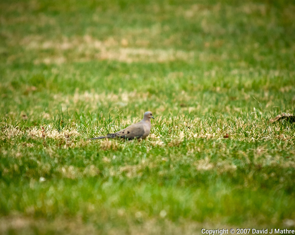 Mourning Dove. Image taken with a Nikon D2xs camera and 80-400 mm VR telephoto zoom lens.
