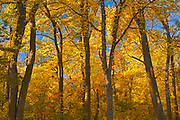 Forest in autumn colors. St. Vital Park<br />Winnipeg<br />Manitoba<br />Canada