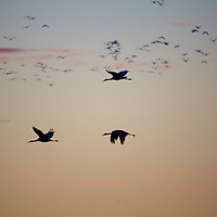 A silhouetted trio of Sandhill cranes takes to busy morning skies
