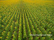 63801-11406 Sunflower field-aerial Jasper Co.  IL