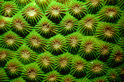 UNDERWATER MARINE LIFE WEST PACIFIC, Philippines CORAL: Star coral Montastrea species