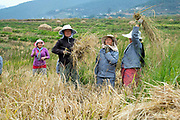 A group of women harvest rice in one of the Bhutanese government's fields which will be stored and later distributed to schools, Chimi Lhakhang, Bhutan.
