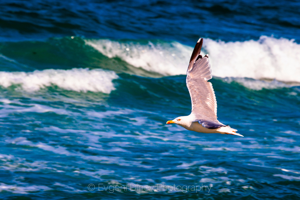 Flying seagull by the sea
