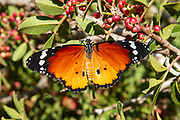 Plain Tiger (Danaus chrysippus) AKA African Monarch Butterfly on a flower Photographed in Israel, in August