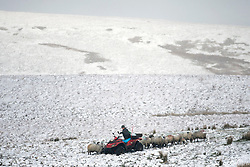 © Licensed to London News Pictures. 16/04/2016. Ribblehead UK. A farmer tend's to his sheep in the snow this morning after last night's snow fall in the Yorkshire Dales. Photo credit: Andrew McCaren/LNP
