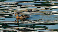 Female Mallard Duck on Lake Chelan. Image taken with a Nikon D200 and 80-400 mm VR lens (ISO 400, 400 mm, f/9, 1/320 sec).