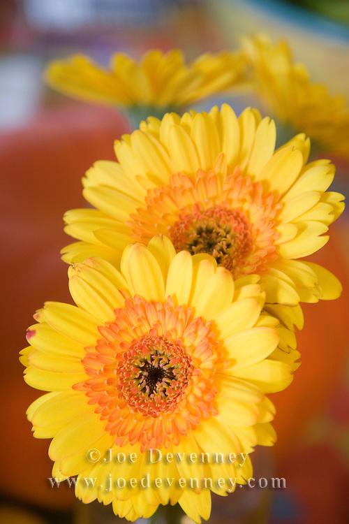 Yellow Gerbera daisies in a vase