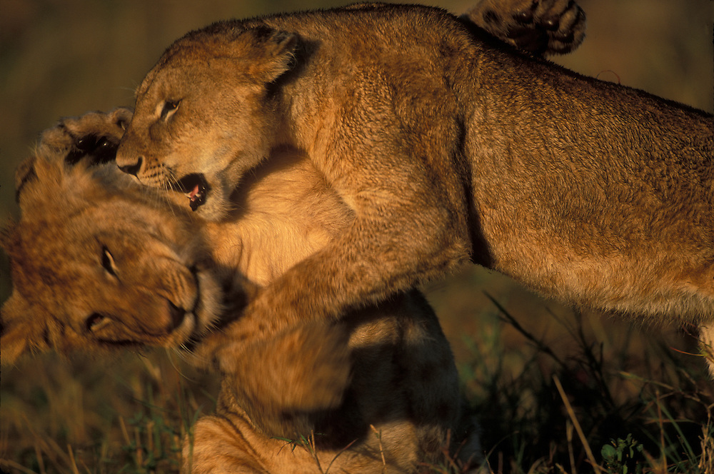 Africa, Kenya, Masai Mara Game Reserve, Lion cubs (Panthera leo) play and wrestle on savanna in early morning light