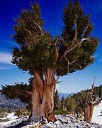 Ancient Bristlecone Pine, Pinus aristata, below Wheeler Peak, Great Basin National Park, Nevada.