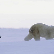 Polar Bear, (Ursus maritimus) Mother with very young cub just leaving winter den. Churchill, Manitoba. Canada.