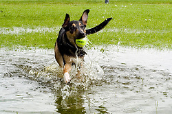 Young playful Black and Tan juvenile mongrel dog splashes through a large deep puddle while chasing a tennis ball in the park<br />   <br /> Wallace in the water and chasing Frisbee <br /> 06 June 2009 Copyright Paul David Drabble