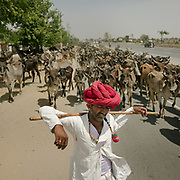 Like many Rajasthani shepherds, this shepherd crosses large stretches of India, feeding his herd of several thousand cows along the way.<br /> Rajasthan Province.