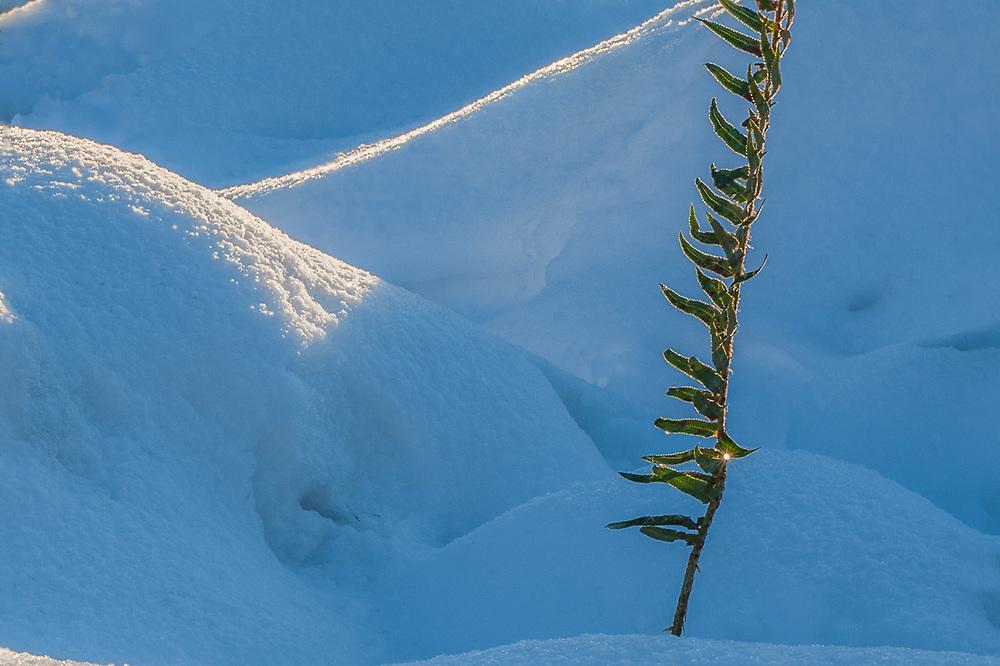 Sword fern (Polystichum munitum), morning light, January, Clallam County, Olympic Peninsula, Washingtom, USA