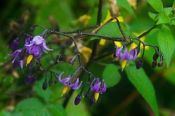 Wildflowers, Witherle Woods, Castine, Maine, US