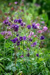 Self sown Aquilegia vulgaris
