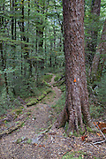 Dense beech forest on the Sugarloaf Track in Mount Aspiring National Park, New Zealand.