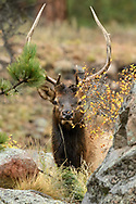 Bull Elk playing hide and seek