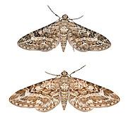 70.168 (1846)<br /> Narrow-winged Pug - Eupithecia nanata