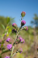 The New England Blazing Star is the only native liatris in the area.  It is globally rare, and Massachusetts lists it as threatened.
