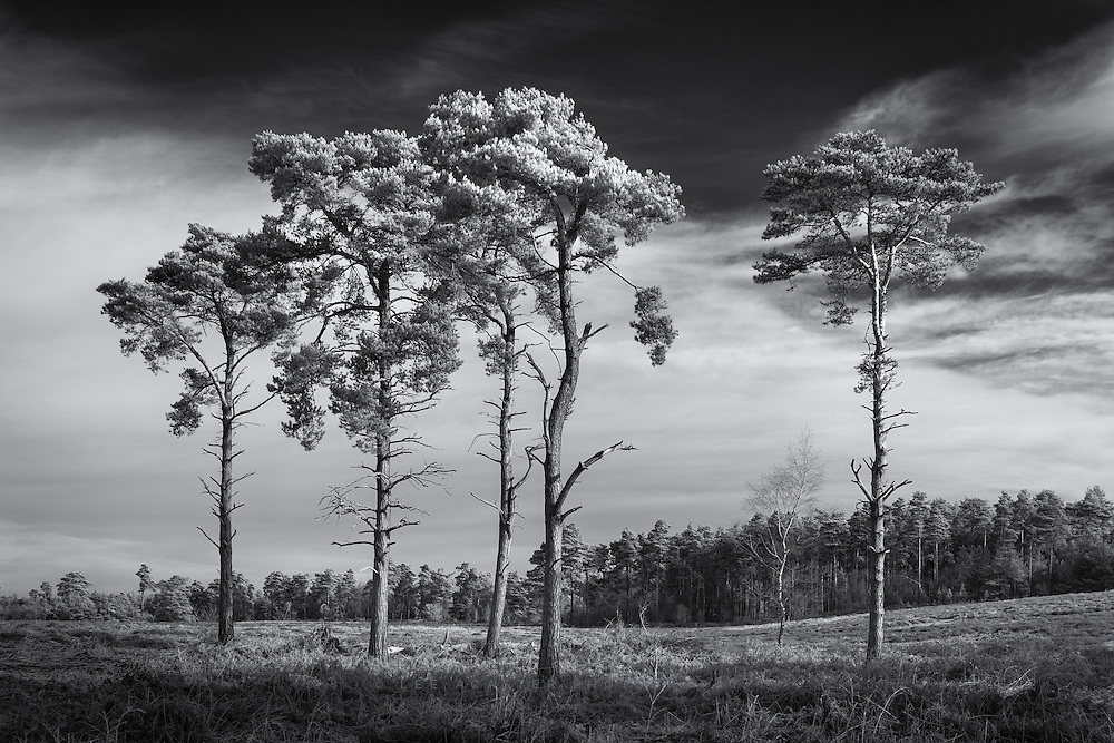A collection of trees at Sutton Heath in Suffolk