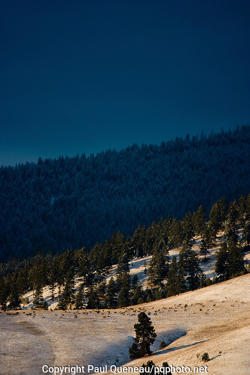 Elk wintering in Grant Creek near Missoula after migrating down out of the Rattlesnake Wilderness