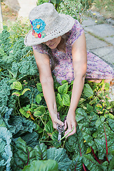 Senior woman cutting and harvesting beans in vegetable garden, Altoetting, Bavaria, Germany