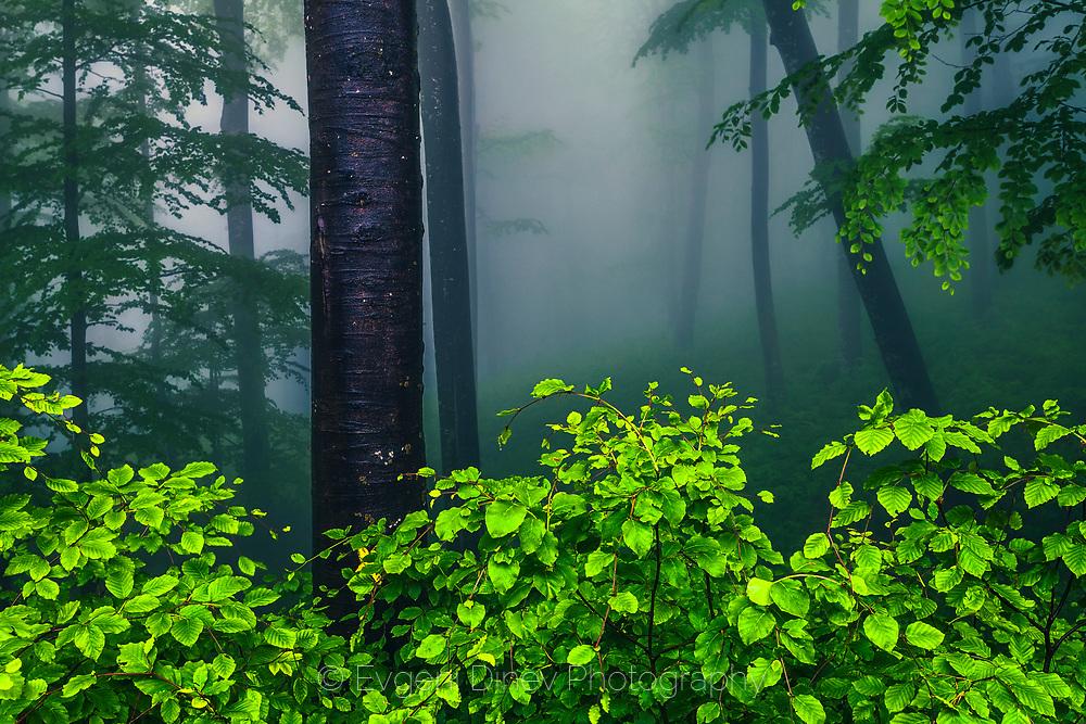 Wet green beech leaves in a misty forest