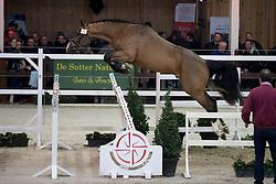 026 - One Way vd Kwakkelhoeve <br /> Vrijspringen 2<br /> Hengsten keuring BWP - Koningshooikt 2017<br /> © Dirk Caremans<br /> 27/12/2016