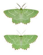 70.304 (1672)<br /> Sussex Emerald - Thalera fimbrialis