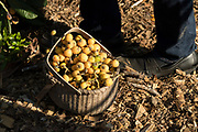 A basket of freshly harvested Loquat fruit picked by Democratic presidential hopeful Senator Cory Booker during a visit to Fresh Future Farm April 27, 2019 in North Charleston, South Carolina. Booker spent his 50th birthday helping out at the urban farm as part of his Justice For All tour.