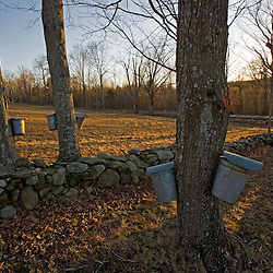Sap buckets on sugar maple trees in Lyme, New Hampshire.  Stone wall.  Spring.  Acorn Hill Road.  Sunset.