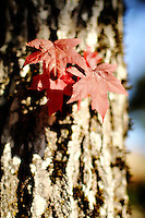 Fall Maple leaves in sun
