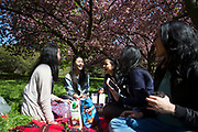 Asian girl friends hanging out underneath the cherry blossom on trees in St James's Park in London, UK. Due to sunny days and cold nights, the season for the flowering trees has been extended longer than is usual.
