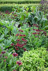 Rudbeckia hirta 'Cherry Brandy', Courgette 'Green Bush' , red stemmed Ruby Chard and basil