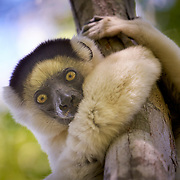 """A white lemur in the Kirindy dry valley near among mangroves in the western coastal region of Madagascar. <br /> <br /> The composition of Madagascar's wildlife reflects the fact that the island has been isolated for about 88 million years. Madagascar split from India about 88 million years ago, allowing plants and animals on the island to evolve in relative isolation.<br /> <br /> As a result of the island's long isolation from neighboring continents, Madagascar is home to an abundance of plants and animals found nowhere else on Earth. Approximately 90 percent of all plant and animal species found in Madagascar are endemic, including the lemurs, the c and many birds. This distinctive ecology has led some ecologists to refer to Madagascar as the """"eighth continent"""", and the island has been classified by Conservation International as a biodiversity hotspot."""