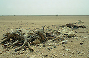 Drought scene - two men walking past the dried out carcasses of dead cattle in Burkina Faso (formerly Upper Volta)
