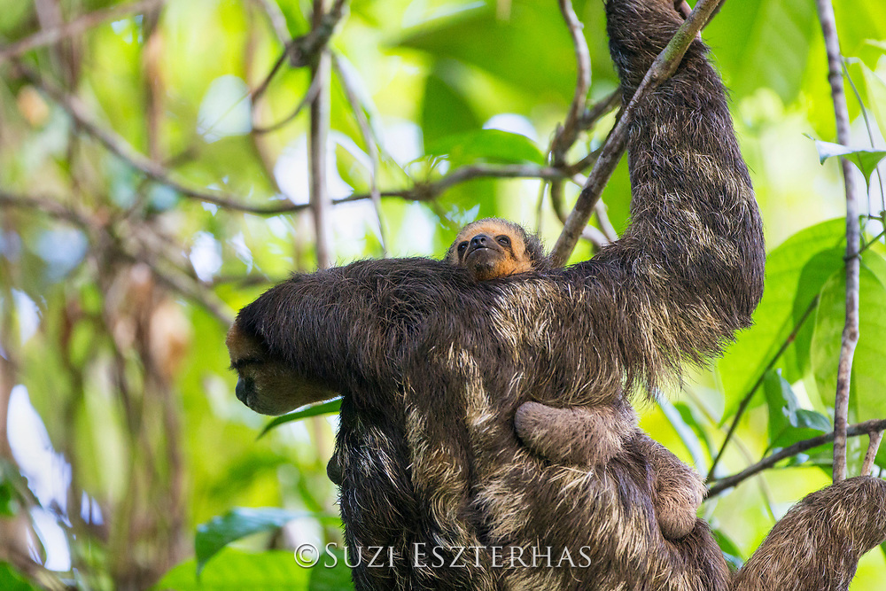Pale-throated sloth<br /> Bradypus tridactylus<br /> Mother and three-month-old baby<br /> Sloth Island, Guyana