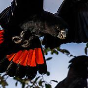 Cockatoos, Australia