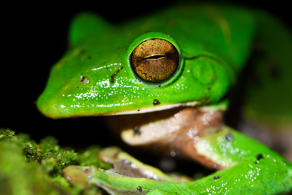 Giant tree frog, Rhacophorus maximus, sitting on a branch with black background at  Tongbiguan nature reserve, Dehong prefecture, Yunnan province, China