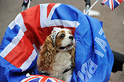 Spaniel in a tiara for the Royal Wedding. Patriotic scenes after the wedding of Britain's Prince William and Kate Middleton.