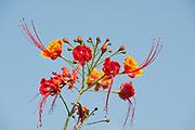 Flame Tree Flowers, Brachychiton sp, Ifaty, Madagascar
