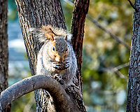 Squirrel with a nut on a sunny winter day. Backyard nature in New Jersey. Image taken with a Nikon 1 V1 camera, FT1 adapter, and 70-200 mm f/2.8 VRII lens (ISO 800, 200 mm, f/8, 1/125 sec).