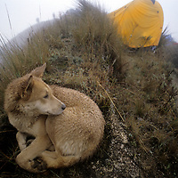 """PERU, Trekking. Dog endures drizzle during bivouac camp for eco-travel group in """"halca"""" grasslands atop a pass near Chachapoyas."""