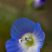 Wildflower Veronica