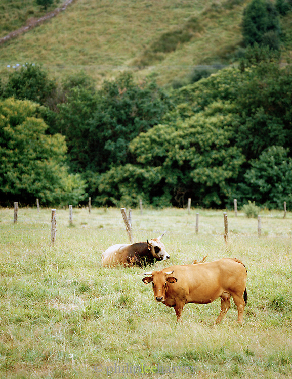 Cattle grazing in the fields near the village of Boal in the Asturias, Spain