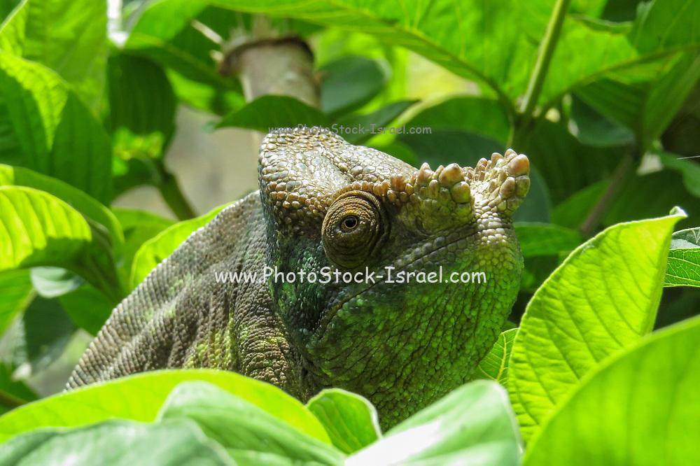 Globe-horned Chameleon (Calumma globifer) Photographed in Madagascar in October