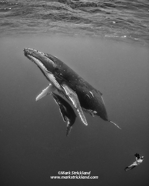 This mother and calf humpback whale, Megaptera novaeanglae, appear unusually tolerent of a free diving videographer's close approach. Tonga, Pacific Ocean